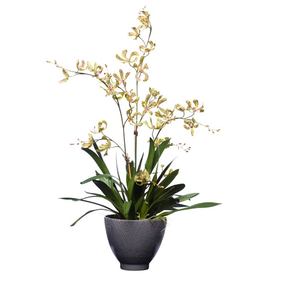 GREEN SPOTTED DENDROBIUMS/GREY CERAMIC POT