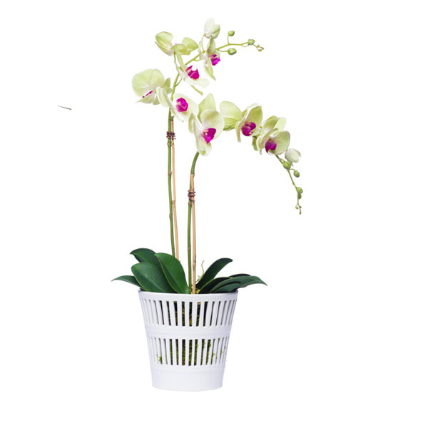 GREEN DOUBLE PHAL IN WHITE POT