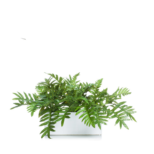 Fern in a White Rectangle Planter