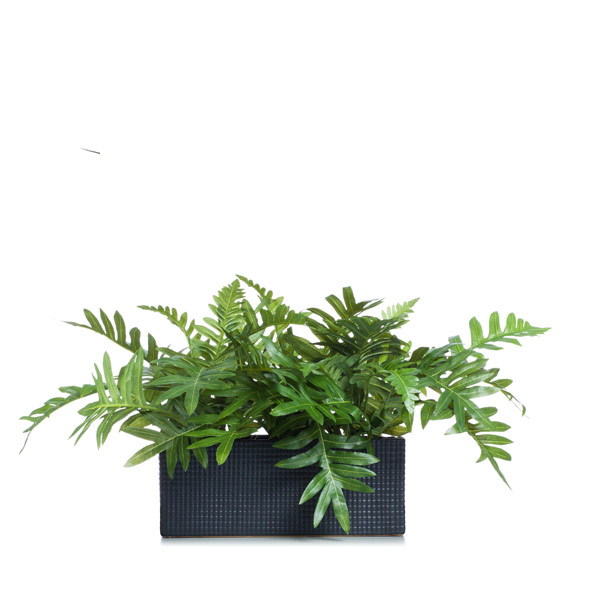 Fern in a Black Rectangle Planter