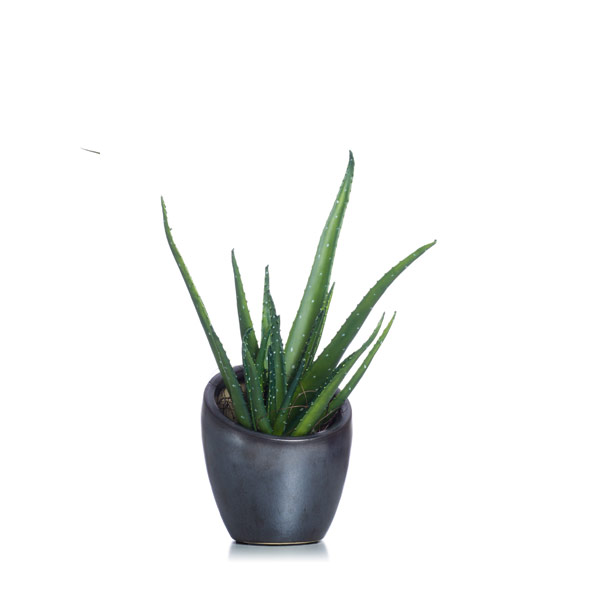 Aloe in a Small Black Slant Pot