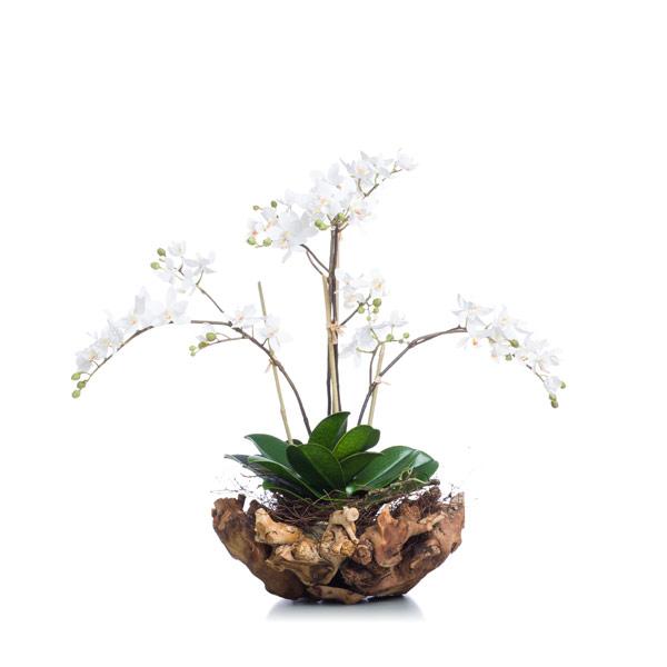 White Mini Phal in Small Wood Bowl