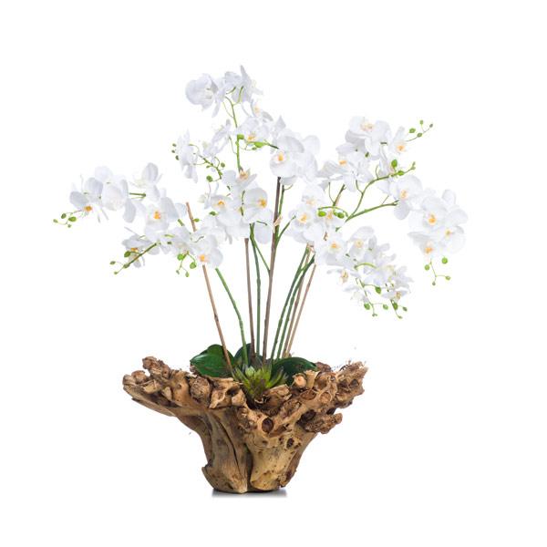 White Mini Phal in Large Wood Bowl