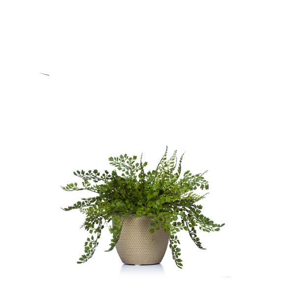 Maiden Hair Fern in a Beige Pot