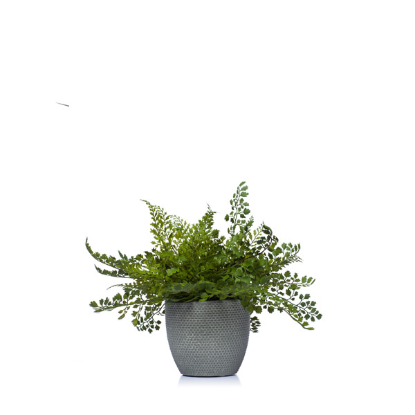 Maiden Hair Fern in a Grey Pot