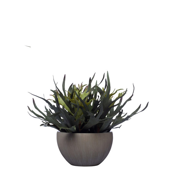 STAGHORN IN GREY POT