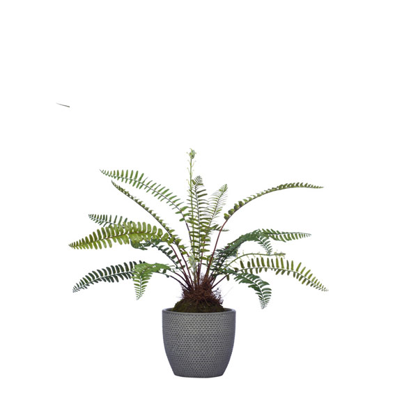 MED WOODLAND FERN IN GREY POT