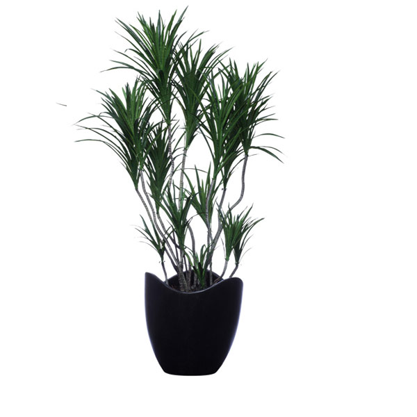 DOUBLE DRACENA IN BLACK WAVY POT