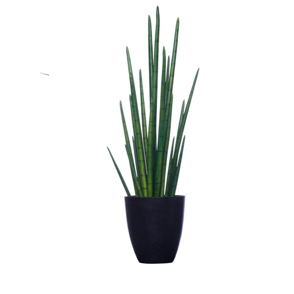 SNAKE GRASS IN TALL BLACK POT