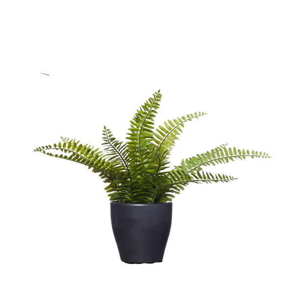 BOSTON FERN IN SM BLACK POT