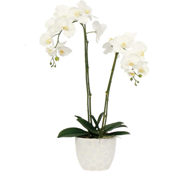 White Phalaenopsis in a White Container