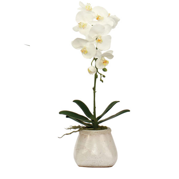 White Phalaenopsis in a Small Stoneware Pot