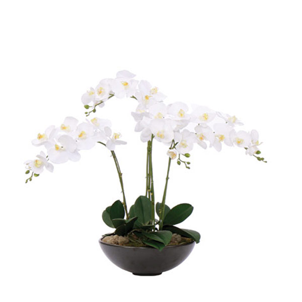 White Phalaenopsis in a Black Bowl