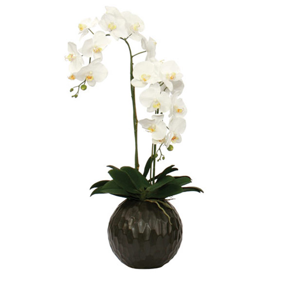 White Phalaenopsis in a Black Ball Container