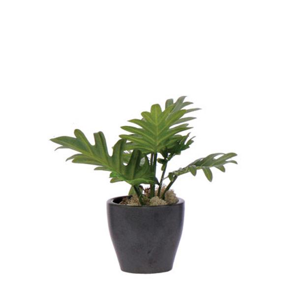 Split Leaf in a Black Pot