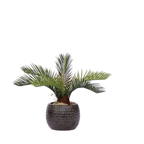 Cycas in a Black Pot