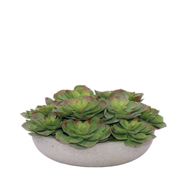 Echeveria Bowl