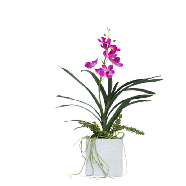 Fuchsia Vanda in Square White Container