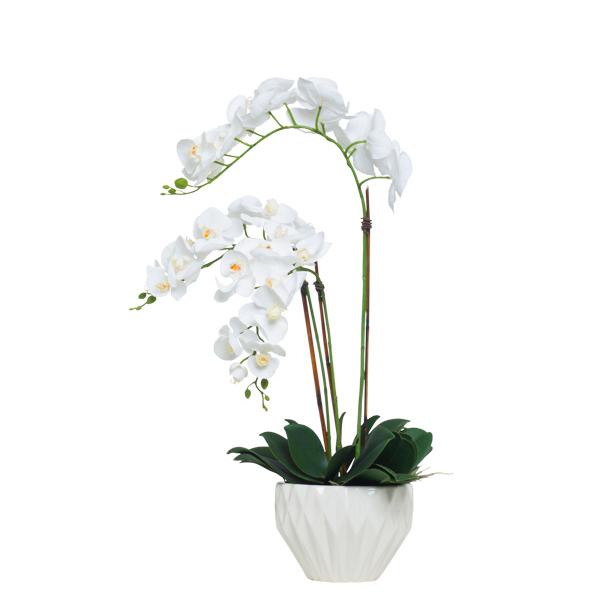 White Phalaenopsis in White Bowl