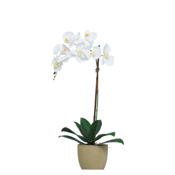 Single White Phalaenopsis in Beige Pot