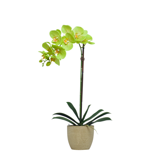 Single Green Phalaenopsis in Beige Pot