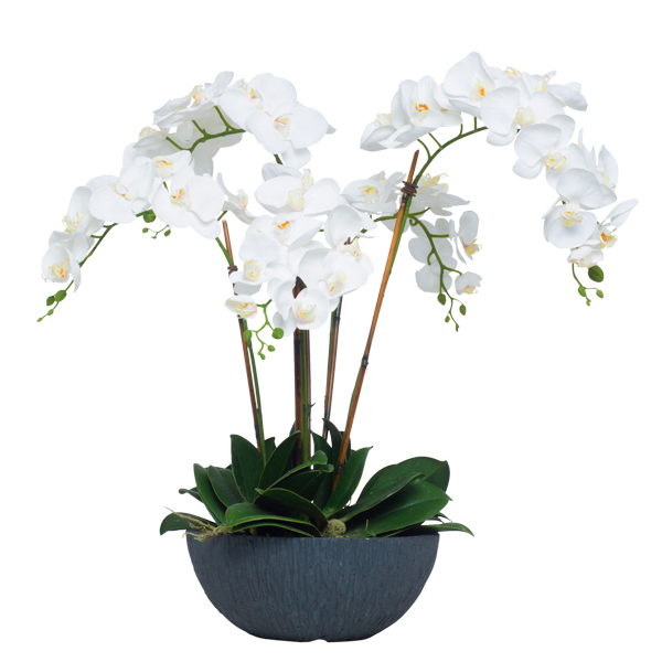 White Phalaenopsis in Black Bowl