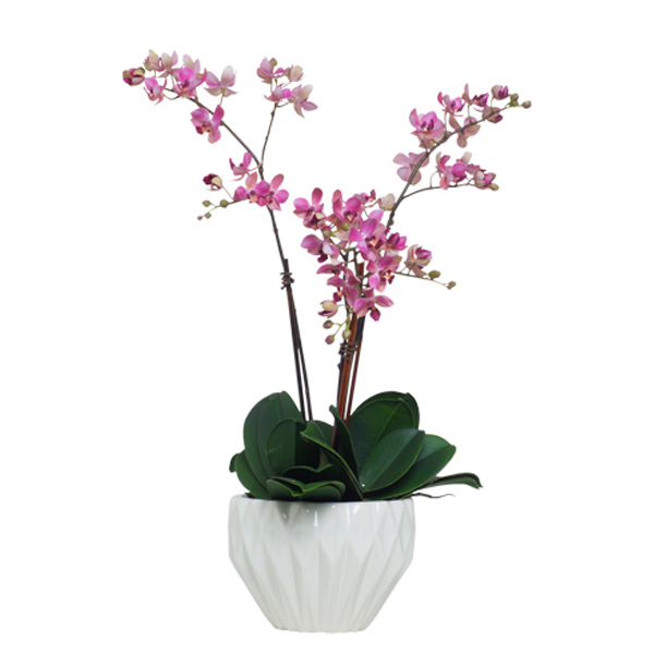 Lavender Mini Phalaenopsis in Copped Pot