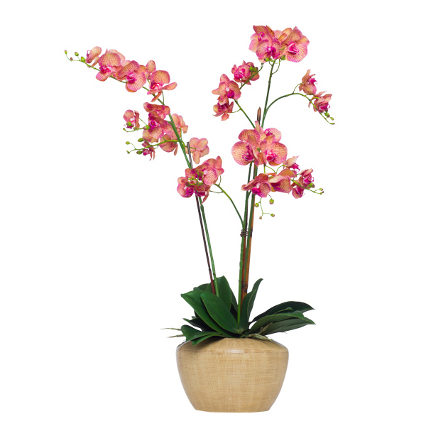 Variegated Fuchsia Phalaenopsis in UFO Pot
