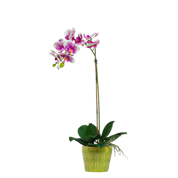 Cream/Fuchsia Phalaenopsis in Insigna Pot