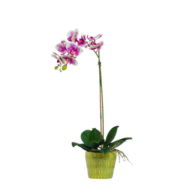 Cream/Fuchsia Phalaenopsis in Insigna Pot