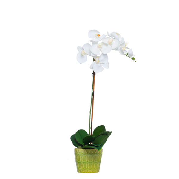 White Phalaenopsis in Insigna Pot