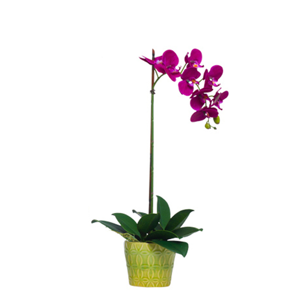 Fuchsia Phalaenopsis in Insigna Pot