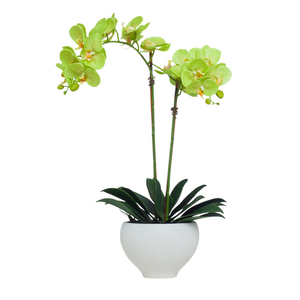Double Green Phalaenopsis in Flared Bowl