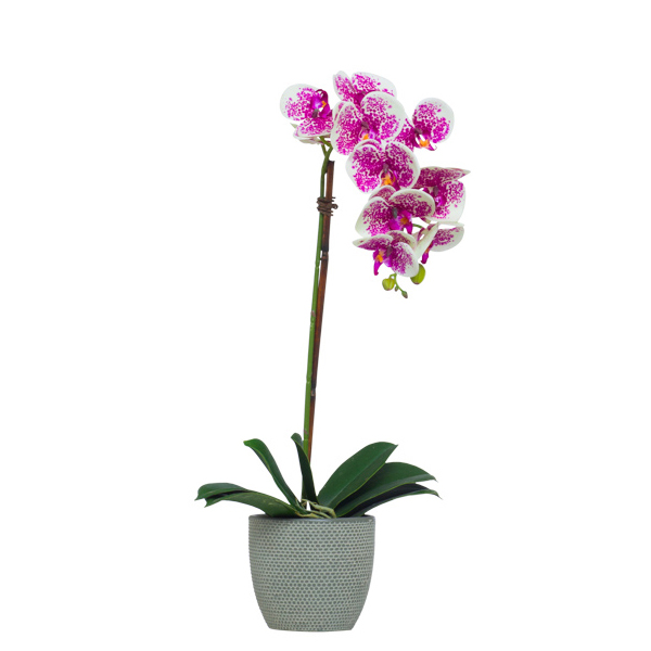 Single Cream/Fuchsia Phalaenopsis in Grey Pot