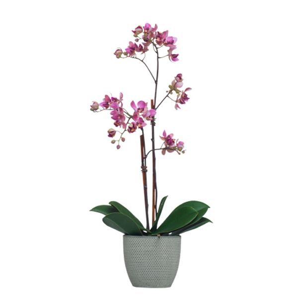Lavender Mini Phalaenopsis Pot