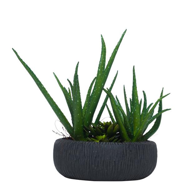 Aloe in Black Bowl