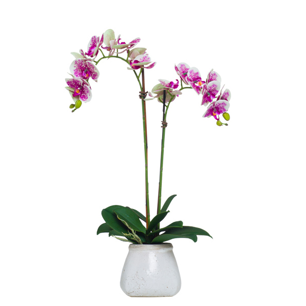 Cream/Fuchsia Double Phalaenopsis in Stone Pot