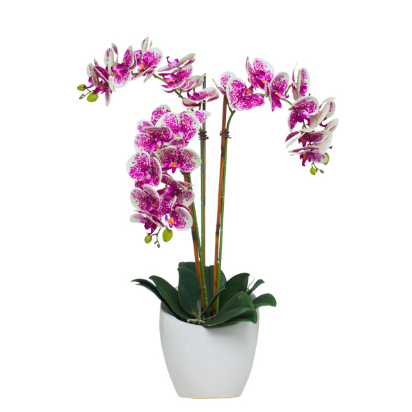 Triple Cream/Fuchsia Phalaenopsis in Slant Pot