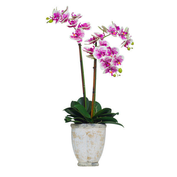 Cream/Fuchsia Triple Phalaenopsis in Stone Pot