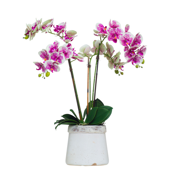 Cream/Fuchsia Phalaenopsis x4 in Stone Pot