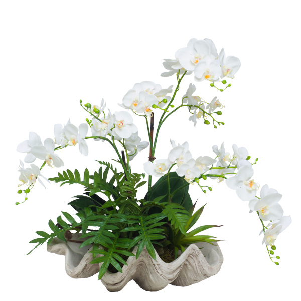 Phalaenopsis in Clam Shell