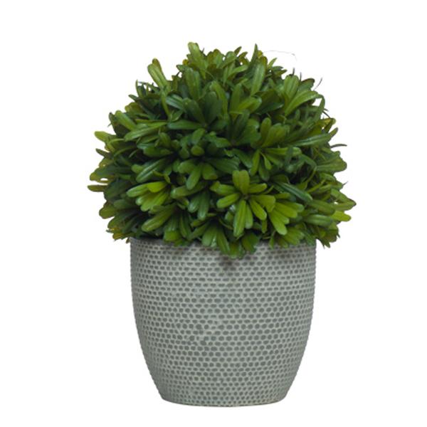 Podocarpus Ball in Round TC Grey Container