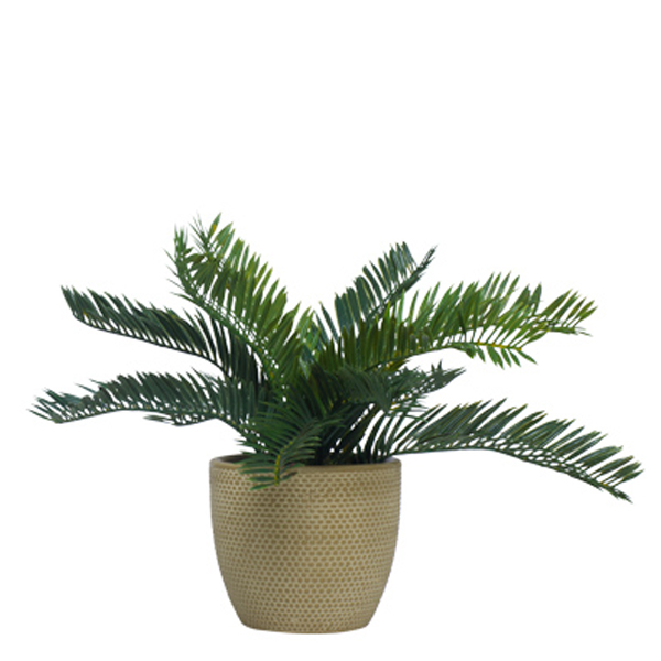 Cycas in Small TC Beige Container