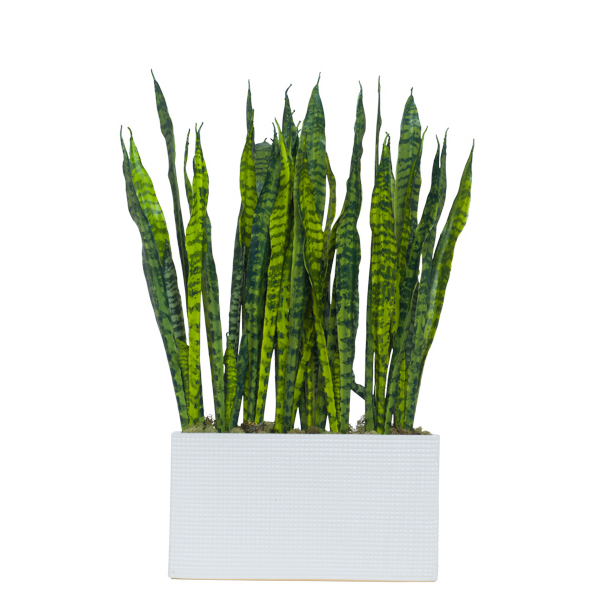 Snake Plant in White Rectangle