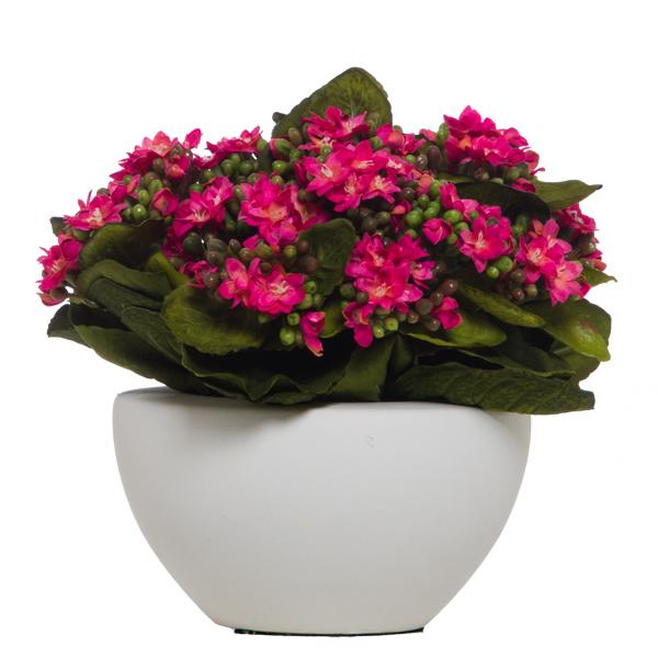 Kalanchoe in White Pot Pink