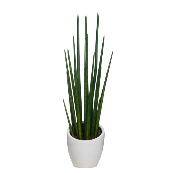 Snake Plant in White Slant Pot