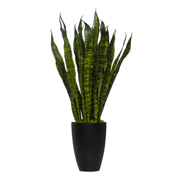 Snake Plant in Black Vase
