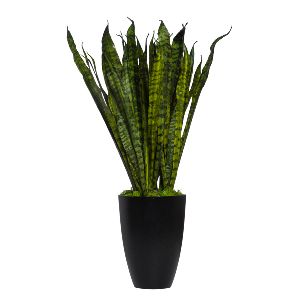 Large Snake Plant in Black Cylinder