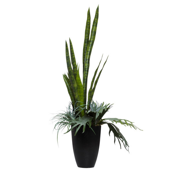Mother-in-Law/Staghorn in Black Cylinder