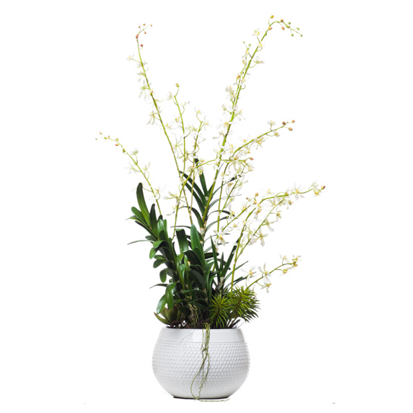 Cream Vanda in White Round Pot